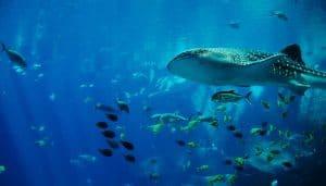 הדג הגדול ביותר במים